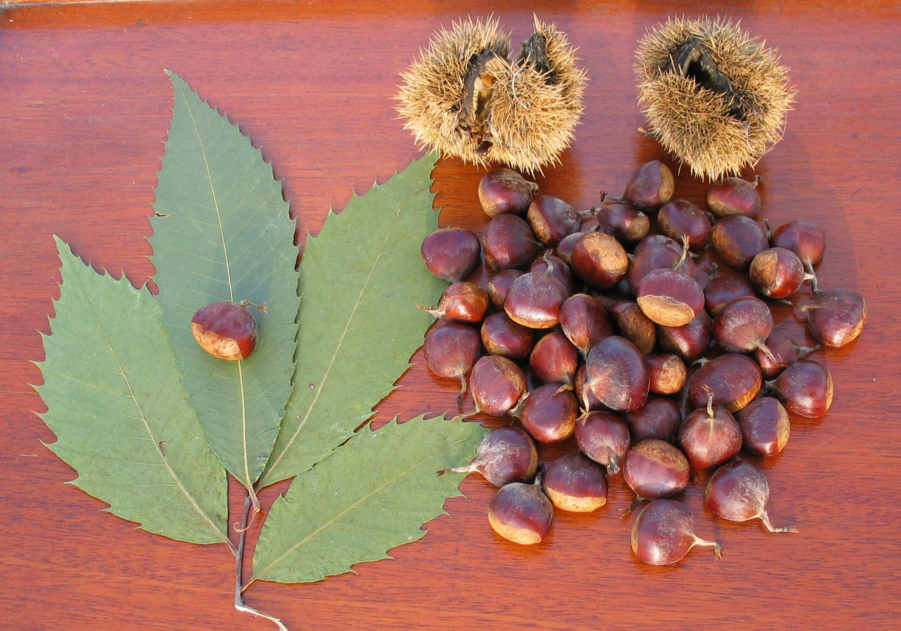 the great chestnut tree creative writing The american chestnut tree: where did it go  how great to see a story on the american chestnut it's such a sad, little known story  photo used under creative .