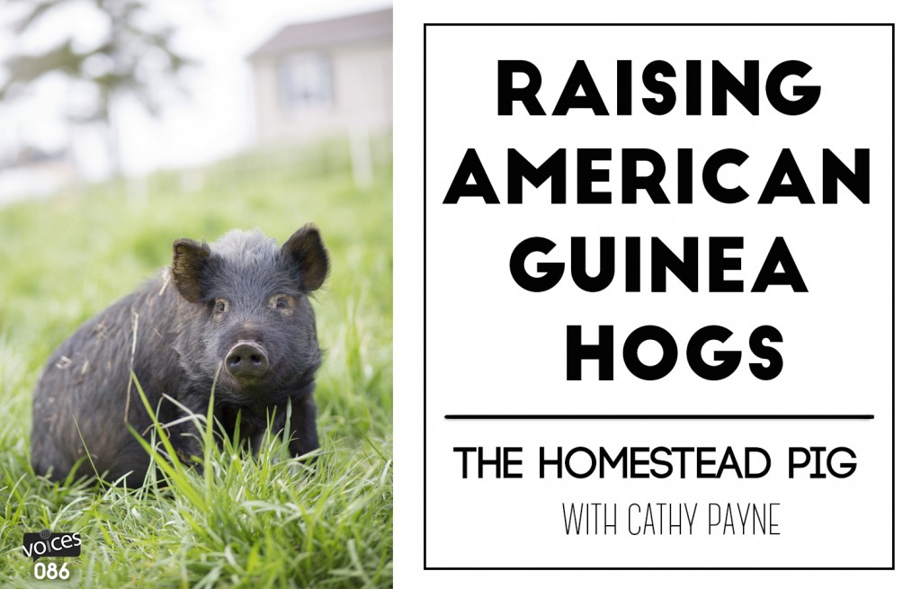 Guinea Hogs Permaculture Voices