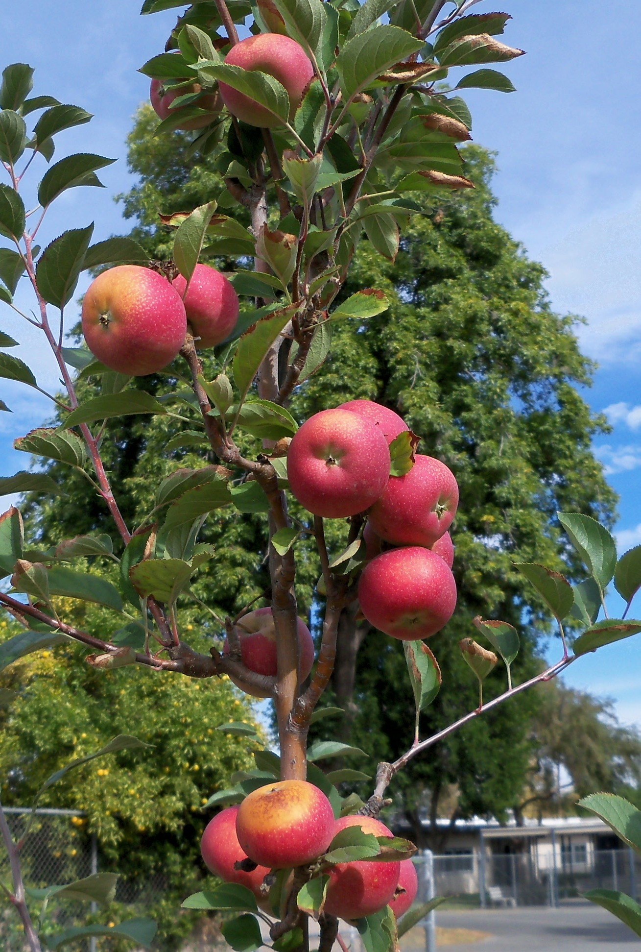 Growing Apples in Warm Climates (PVP097) | Diego Footer's ...