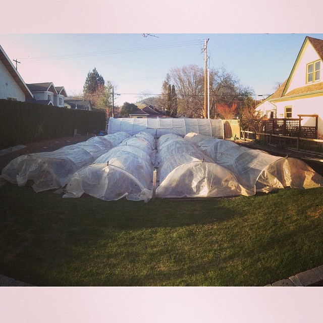 Poly low tunnels protecting the crops from the elements.