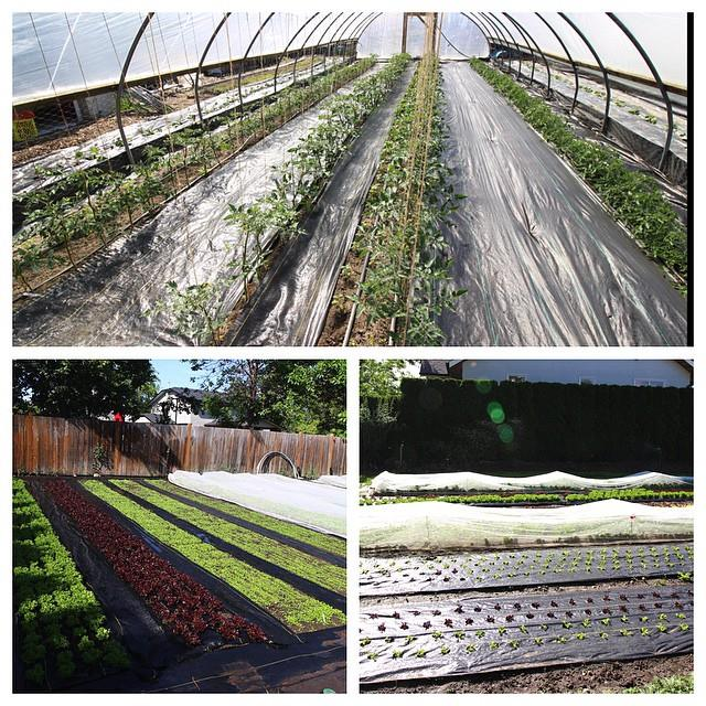 Landscape fabric in the greenhouse suppressing weeds.