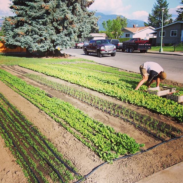 All land get's farmed. A front yard in production in Kelowna.