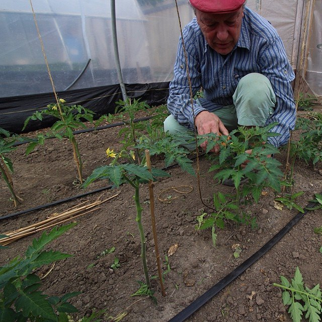 Roger setting up the tomatoes in the greenhouse.