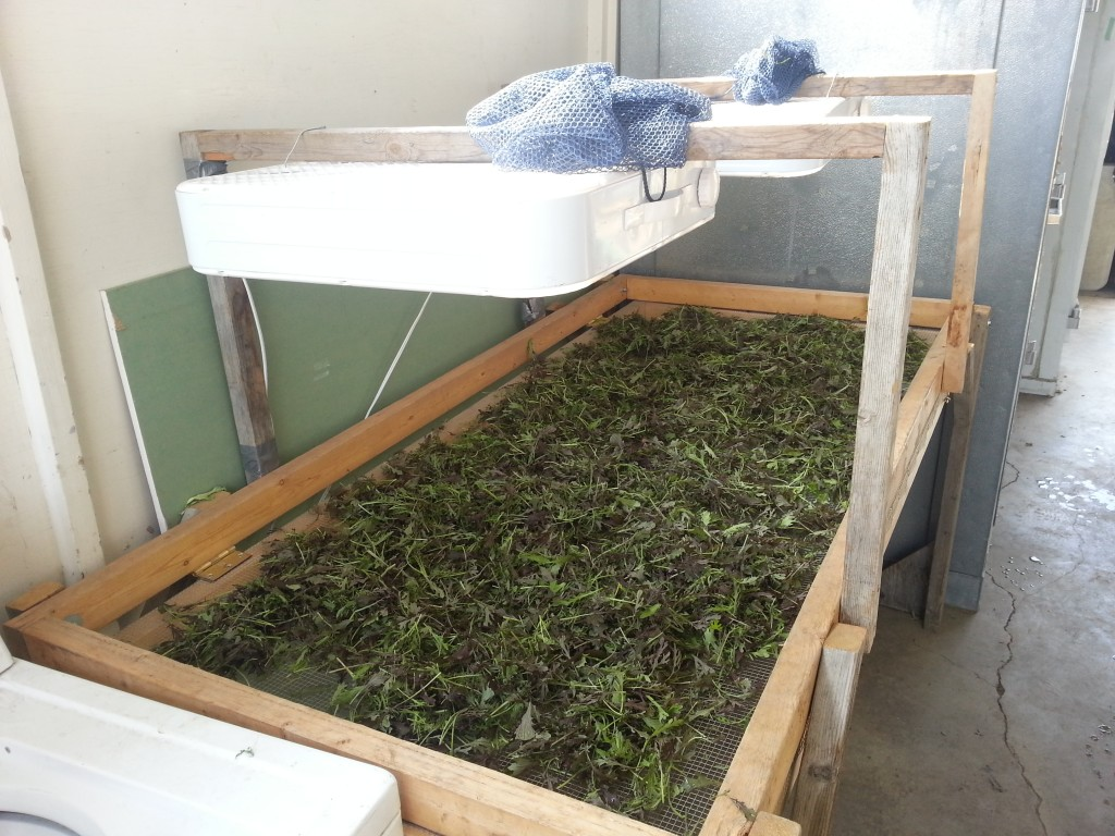 Curtis' greens drying table.