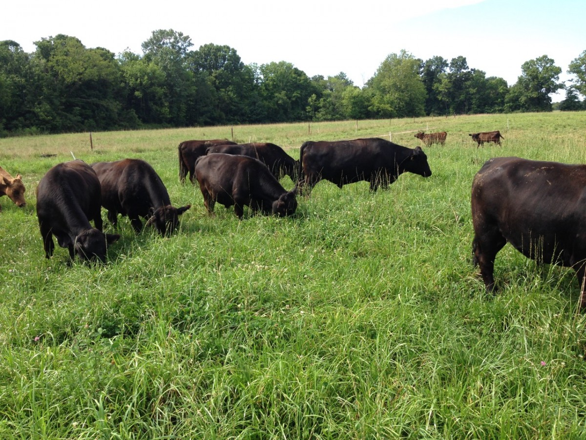 Cows grazing on grass on the Simpson Family Farm.